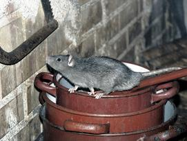 Rat in schuur.jpg